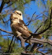 Kookaburra (good light, no movement)