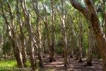Paperbark Forest