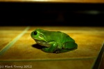 Green Tree Frog - Uncropped
