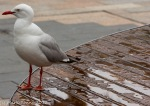 A seagull enjoying the showers in the Manly Corso
