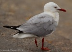 Stanley the one-legged seagull at Manly Corso