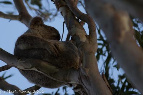 Koala Chillaxing