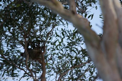 Koala's Bum