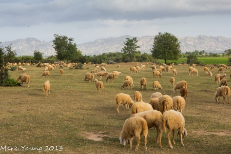 Local sheep at Phan Rang