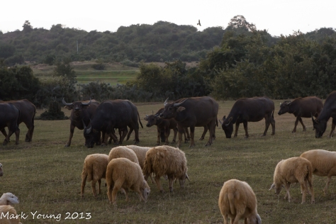 Water Buffalo and Sheep