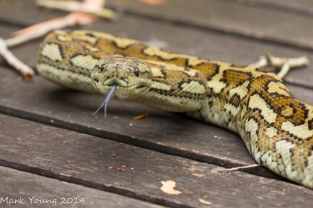Sleepy Carpet Python Snake