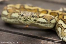 Sleepy Carpet Python Snake